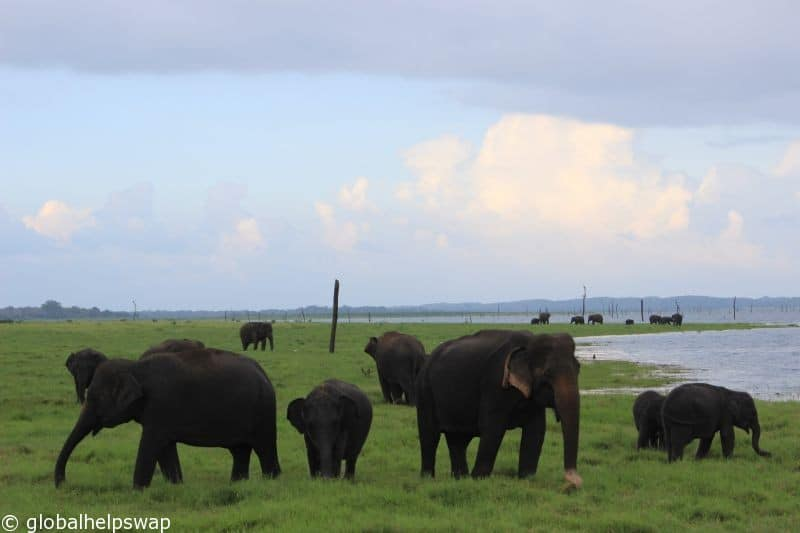 wild elephants in Kaudulla National Park, Sri Lanka