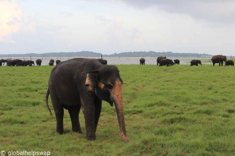 wild elephants in Kaudulla National Park, Sri Lanka