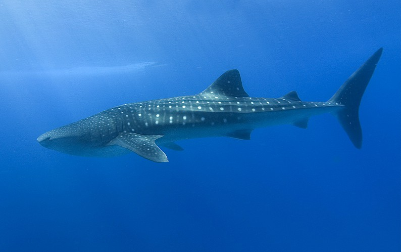 Swimming with Whale Sharks in the Philippines