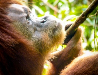 Observing the Orangutans of Sumatra in Gunung Leuser National Park