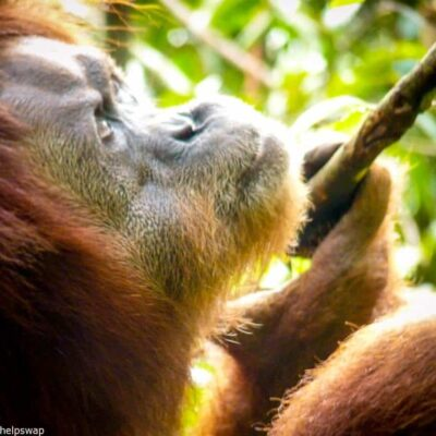 Volunteer with Orangutans in Indonesia