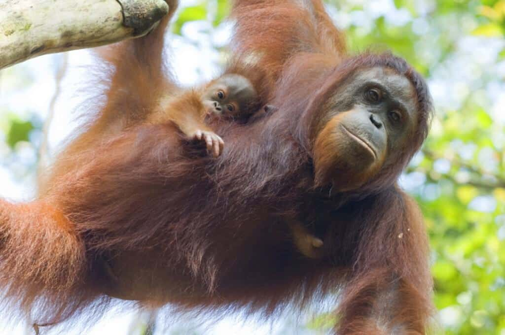 Orangutans in the tree