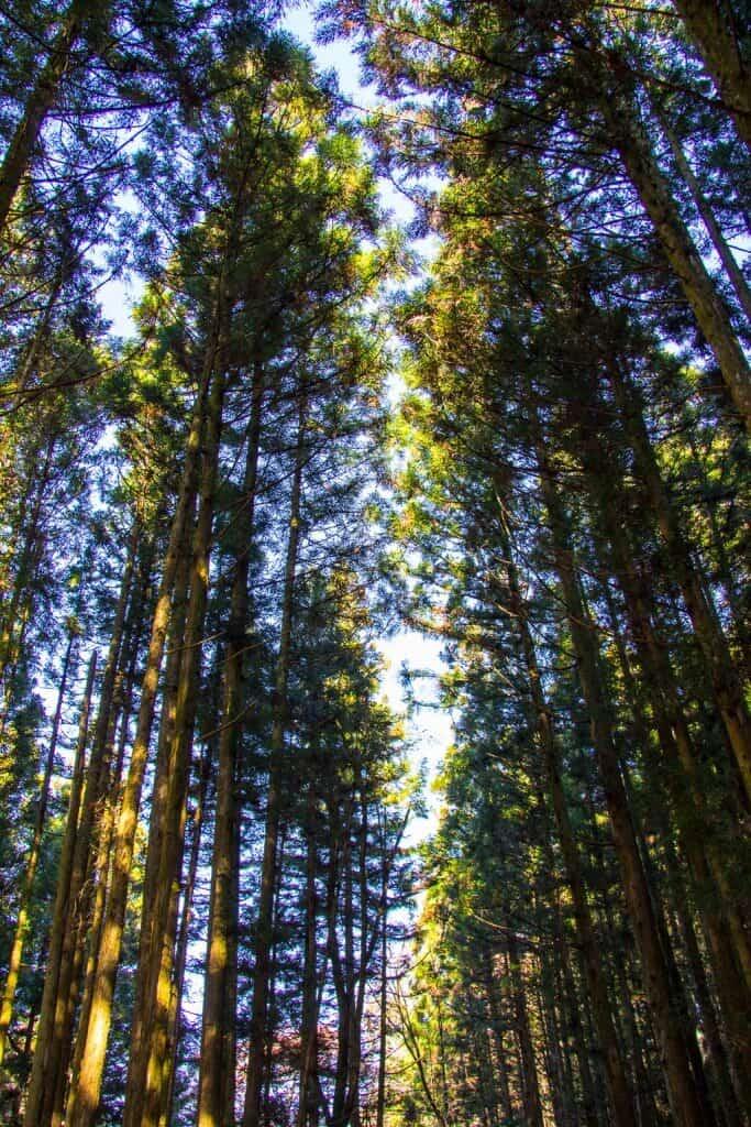 Cedar forest on the Nakasendo Trail