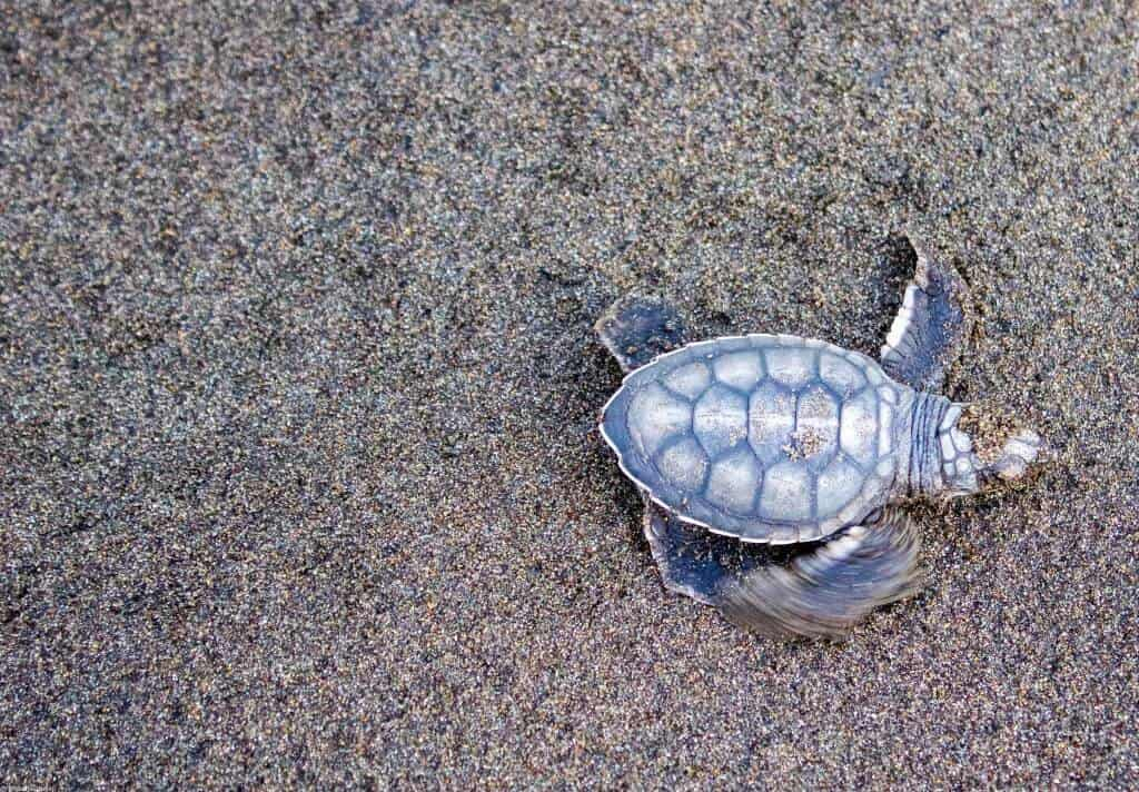 A baby turtle on Tortuguero Beach