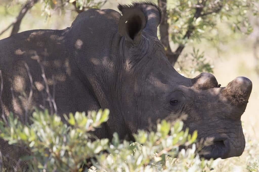 Rhinos in Zimbabwe