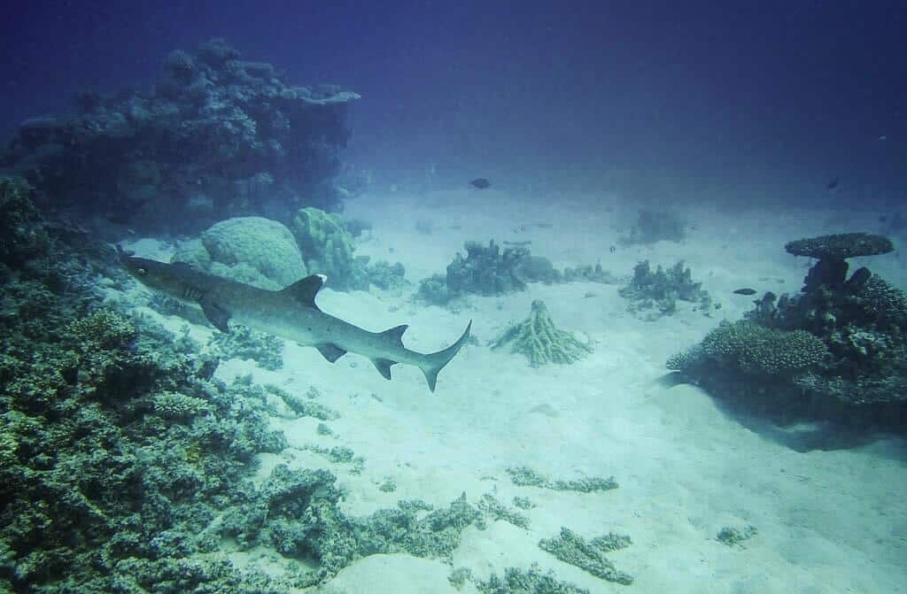 A reef shark on the barrier reef, Australia