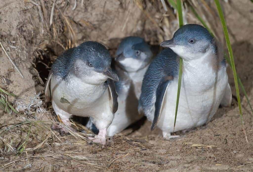 Penguins on Phillip Island, Australia