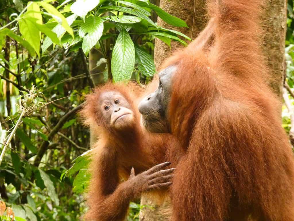 Orangutans in Sumatra, Indonesia