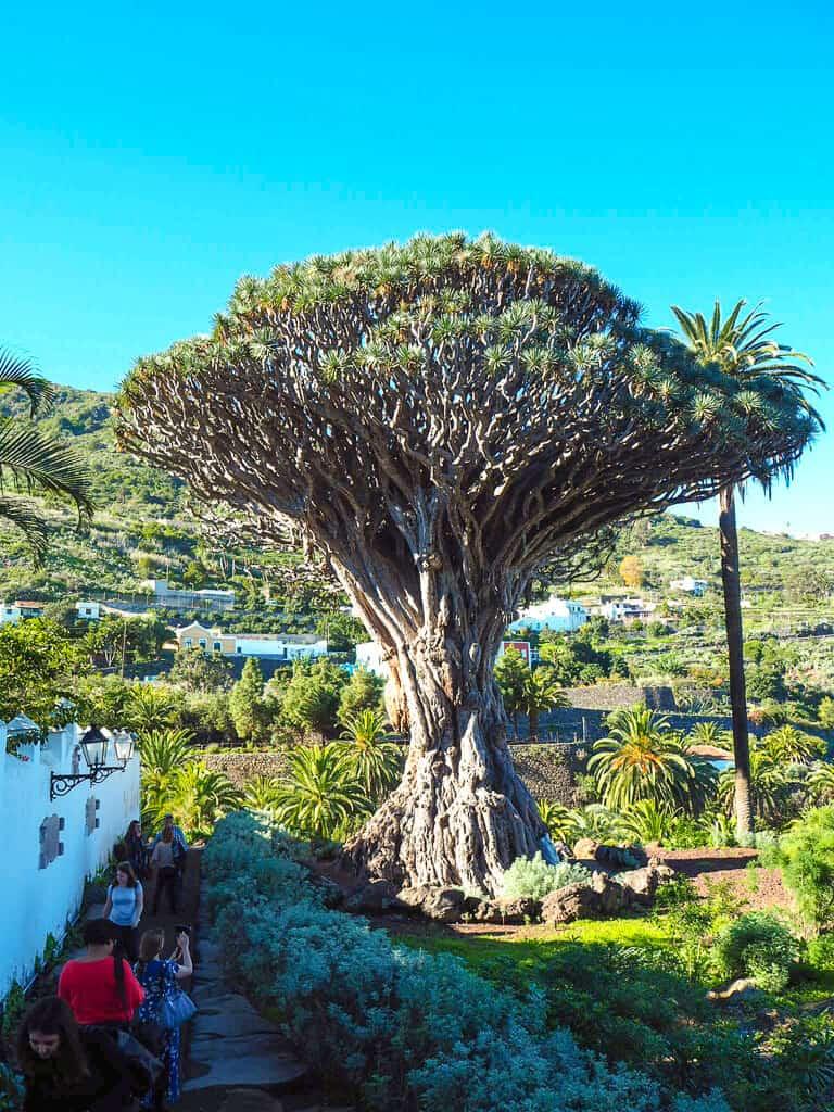 The famous dragon tree in Icod de Los Vinos Tenerife
