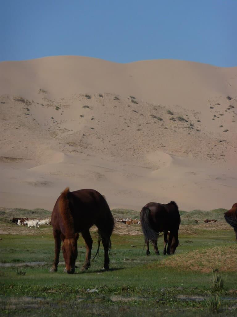 Horses in the Gobi Desert Mongolia