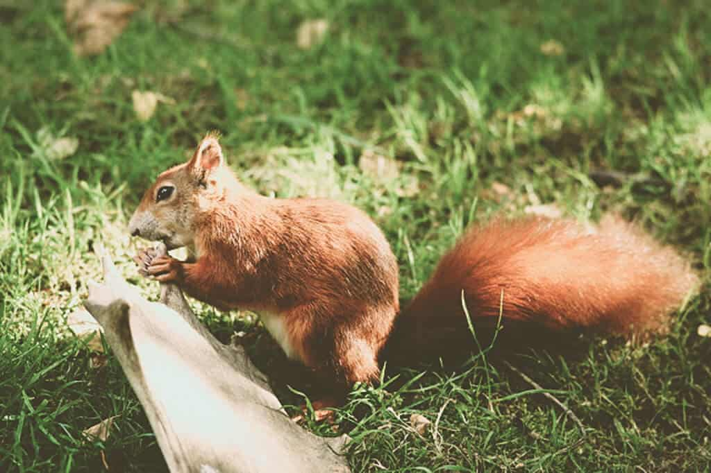 Where do Red Squirrels Live