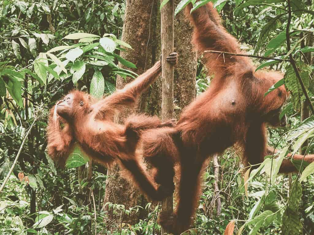 Observing Orangutans in Sumatra, Indonesia